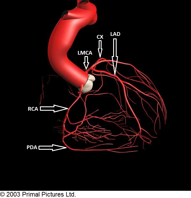 قلب و عروق تلگرام شریان کرونری اصلی چپ LMCA(Left main Coronary Artery):